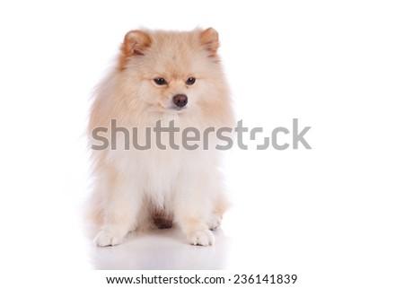 white pomeranian puppy dog isolated on white background - stock photo
