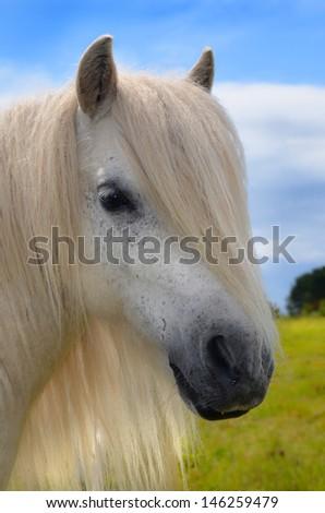 White pony - stock photo