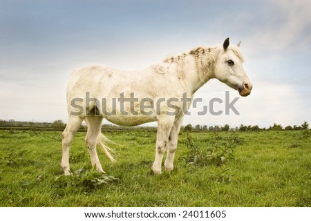White Pony with braided mane in a green pasture.