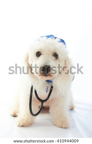 white poodle doctor with stethoscope isolated on background