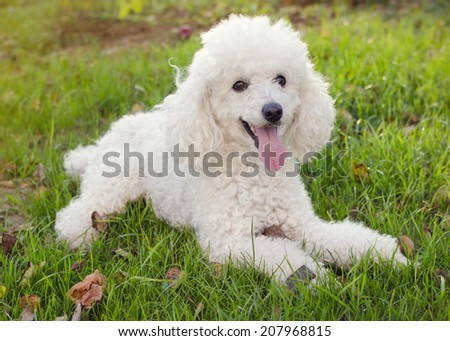 White poodle dog on a grass in a garden.