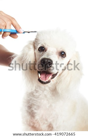 white poodle in barber shop isolated on white