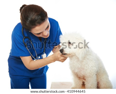 white poodle in veterinary check by woman nurse isolated on white