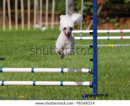 White Poodle jumping over an agility jump