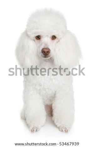 White poodle puppy. isolated on a white background - stock photo