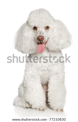 White poodle puppy, isolated on a white background - stock photo