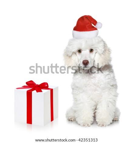 White poodle puppy with chrismas gift on white background - stock photo