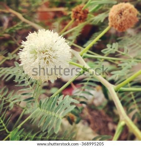 White Popinac flowers - stock photo