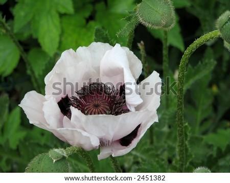 White Poppy - stock photo