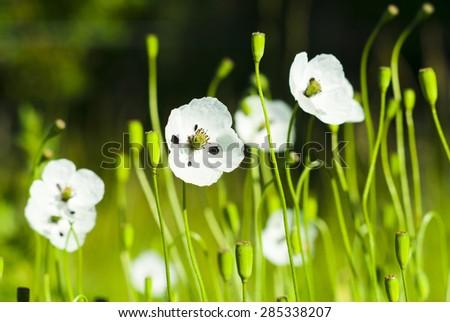 White Poppy Flowers Stock Photo (Royalty Free) 285338207 - Shutterstock