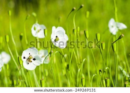 white poppy flowers on a meadow - stock photo