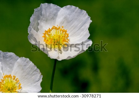 white poppy flowers over the green - stock photo