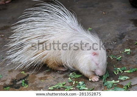 White porcupine eating food on ground. - stock photo
