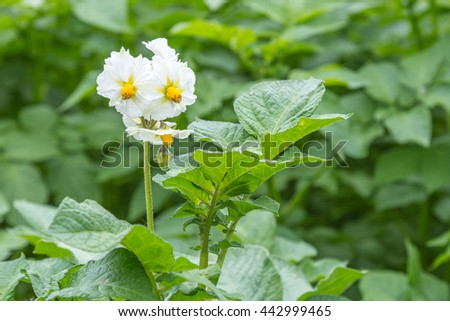 White Potato flowers on a field - stock photo