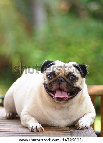 white pug laying on a table - stock photo