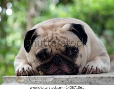 white pug laying on a table smoking cigar 1 - stock photo