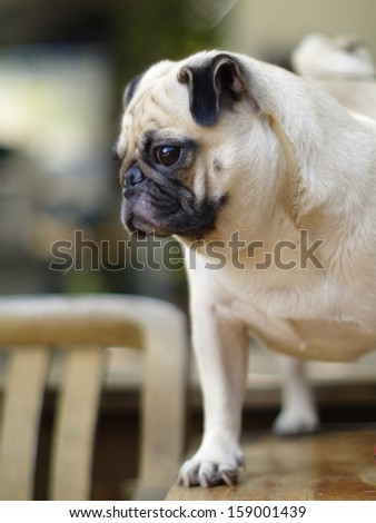 white pug standing on a table outdoor under natural sunlight  making sadly face with expression of thinking, lonely, sad, wisdom, waiting, visionary
