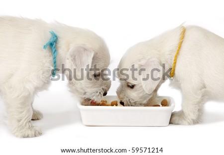 white puppies - stock photo