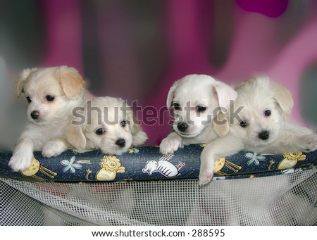 white puppies mixed bread