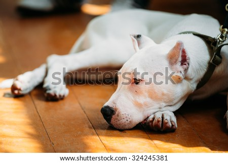 White puppy dog of Dogo Argentino also known as the Argentine Mastiff is a large, white, muscular dog that was developed in Argentina primarily for purpose of big-game hunting, including wild boar - stock photo