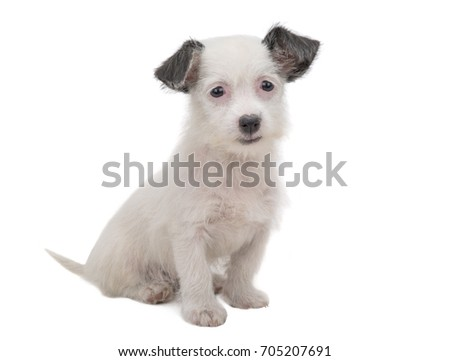 white puppy  isolated on a white background