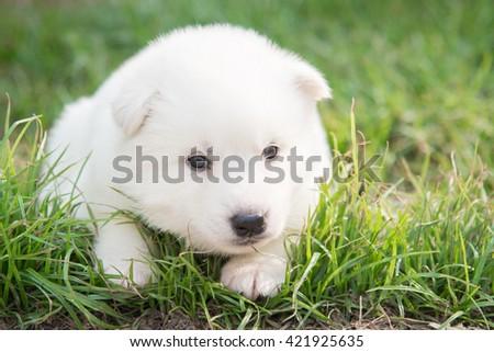 White puppy lying on green grass under sunlight - stock photo