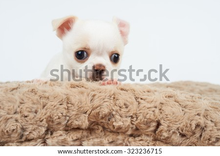 White puppy of Chihuahua on beige pet bed                - stock photo