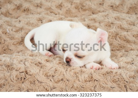 White puppy of Chihuahua sleeps on beige pet bed                - stock photo