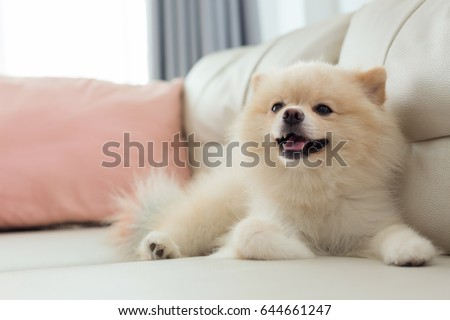 Best Indoor Chubby Adorable Dog - stock-photo-white-puppy-pomeranian-dog-cute-pet-happy-smile-in-home-with-seat-sofa-furniture-interior-decor-in-644661247  Image_771511  .jpg