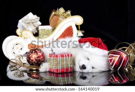 White puppy spitz wearing a santa hat - stock photo