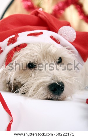 White puppy with red cap - stock photo