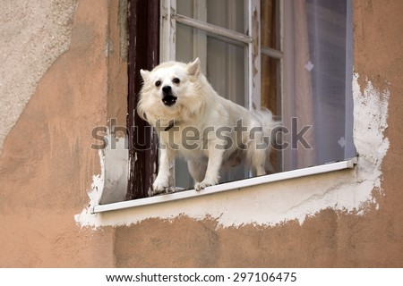 White pure bred small dog standing in old wooden window and barking on street on light orange peeling flat wall background, horizontal picture - stock photo