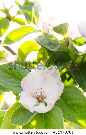 White quince flower blooming around green leaves in sunlight - stock photo