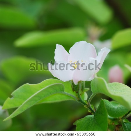 White quince flowers over green background (selective focus on stem and pistils)