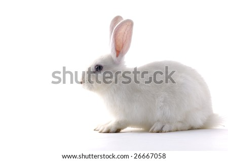White Rabbit - stock photo