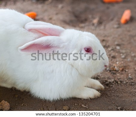 White Rabbit and eye red lying on the ground