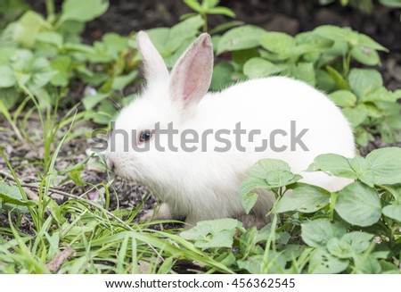 White Rabbit is lying down on the ground with Green Grass and Plants Foreground and Background.