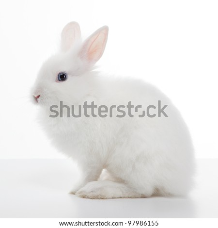 White rabbit isolated on white background - stock photo