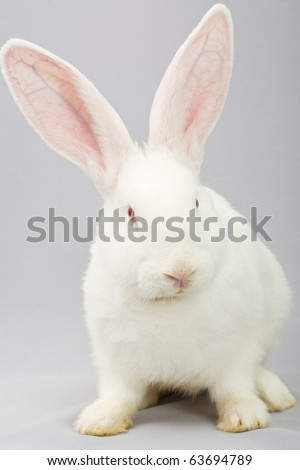 White rabbit on a gray background - stock photo