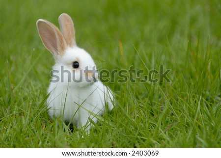 white rabbit on the grass. ecuador. south america - stock photo