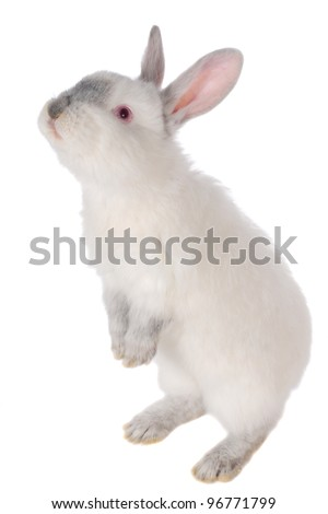 White rabbit with red eyes - stock photo