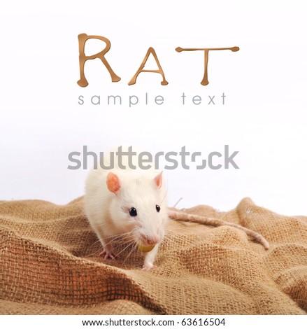 white rat - stock photo