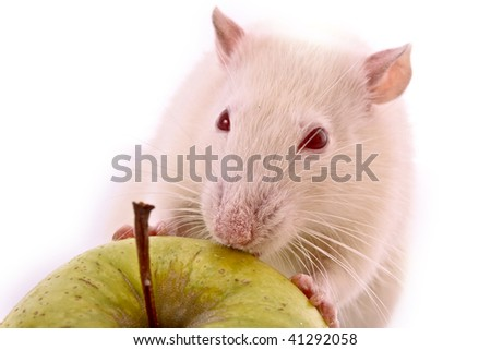 White Rat and apple isolated on white