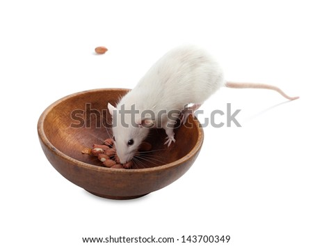 White rat eating peanuts from wooden plate. Isolated on white background. - stock photo