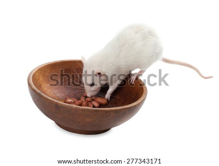 White rat eating peanuts from wooden plate. Isolated on white background.