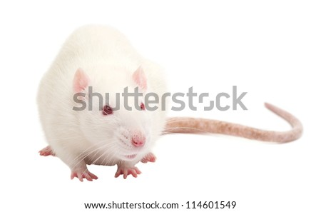 white rat isolated on white background - stock photo