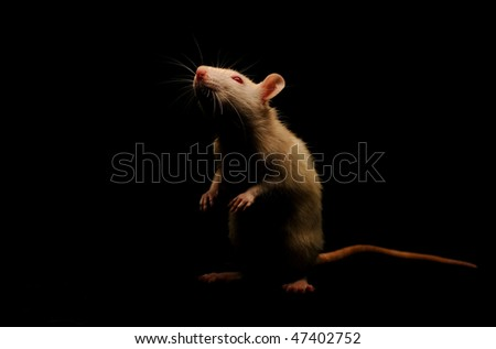 White rat on a black background. The photo was taken in a low key. - stock photo
