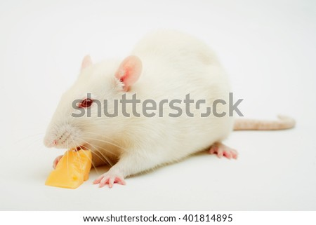 white rat on white background