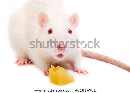 white rat on white background - stock photo