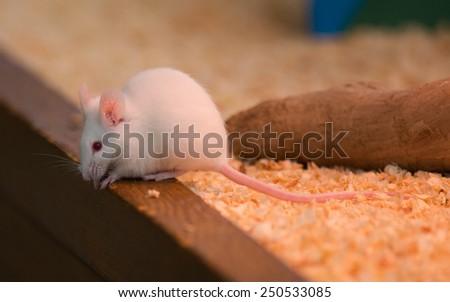 White rat or white mouse. - stock photo